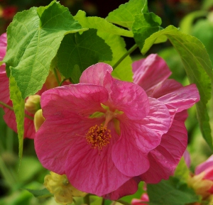 Abutilon flowering maple mikes garden top 5 plants abutilon x hybridum bella mix these seed grown bedding plants have large 3 wide outward facing instead of nodding flowers that come in shades of mightylinksfo