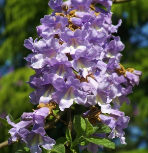 Large flowering trees mikes garden top 5 plants paulownia tomentosa empress tree a native of china is fast growing and features fragrant lilac purple panicles that much resemble foxglove flowers mightylinksfo