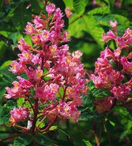 Large flowering trees mike 39 s garden top 5 plants for Large flowering shrubs