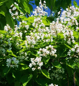Large flowering trees mikes garden top 5 plants catalpa bignonioides mightylinksfo