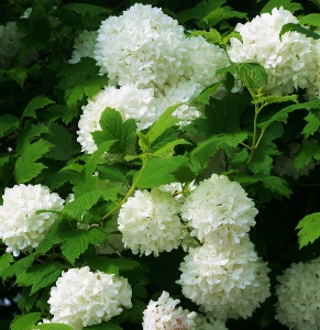 Old Fashioned Shrubs Mike S Garden Top 5 Plants