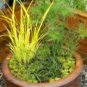 Ornamental grasses for containers mike 39 s garden top 5 plants for Tall ornamental grasses for pots