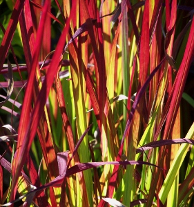 Compact ornamental grasses mike 39 s garden top 5 plants for Ornamental grasses red color
