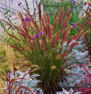 Annual Ornamental Grasses Annual ornamental grasses mikes garden top 5 plants pennisetum setaceum rubrum there are more than a few gardeners out there who wish this that this exotic looking tender grass would survive the winters workwithnaturefo