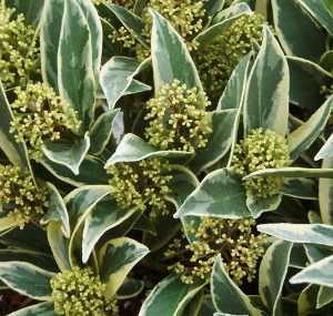 Variegated Broadleaf Evergreen Shrubs Mike S Garden Top 5 Plants