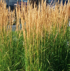 Tall Ornamental Grass Varieties Specimen ornamental grasses mikes garden top 5 plants calamagrostis workwithnaturefo