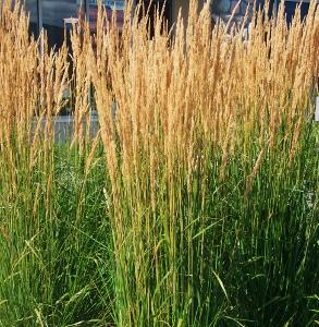 Specimen ornamental grasses mike 39 s garden top 5 plants for Tall thin ornamental grasses