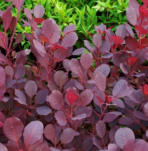 Shrubs with burgundy red foliage mikes garden top 5 plants a deciduous landscape standard with rounded leaves that emerge wine red and mature to a deep reddish purple smoke like purplish pink panicles appear in mightylinksfo