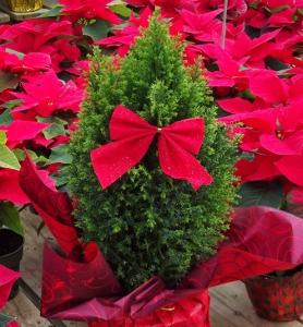 Indoor Christmas Plants Mike 39 S Garden Top 5 Plants