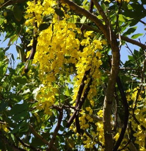 Flowering trees of australia mikes garden top 5 plants cassia mightylinksfo Gallery
