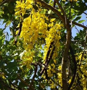 Flowering trees of australia mikes garden top 5 plants cassia mightylinksfo
