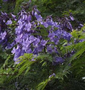 Flowering trees of australia mikes garden top 5 plants jacaranda mimosifolia mightylinksfo