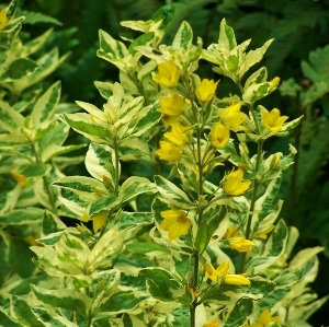Perennials for moist soils mikes garden top 5 plants lysimachia punctata alexander a beautifully variegated loosestrife with mid green leaves accented by creamy white margins further tinged with pink mightylinksfo