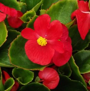 wax begonias begonia x semperflorens cultorum mike 39 s garden top 5 plants. Black Bedroom Furniture Sets. Home Design Ideas