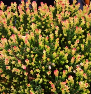 Spring Tips Scotch Heather Calluna Vulgaris Mike S Garden Top 5
