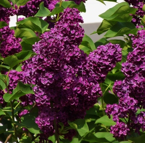 french lilacs syringa vulgaris mike 39 s garden top 5 plants. Black Bedroom Furniture Sets. Home Design Ideas