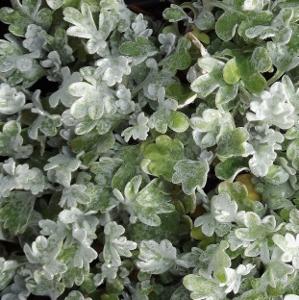 Silver Leaf Plants