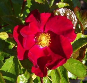 flower carpet roses mike 39 s garden top 5 plants. Black Bedroom Furniture Sets. Home Design Ideas