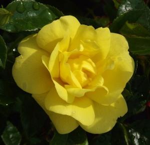 Flower Carpet Roses Mike S Garden Top 5 Plants