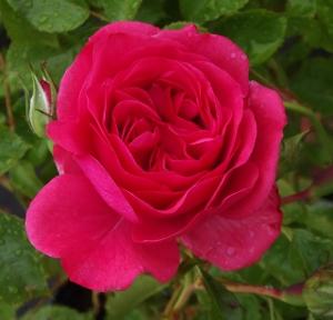climbing roses mike 39 s garden top 5 plants. Black Bedroom Furniture Sets. Home Design Ideas