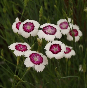 Mikes garden top 5 plants helping gardeners help themselves dianthus deltoides arctic fire a delightful dianthus with small single white flowers mightylinksfo