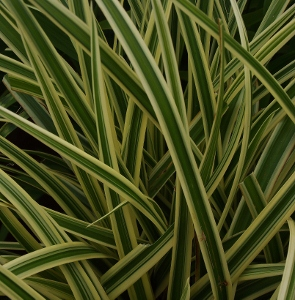 Variegated ornamental grasses mike 39 s garden top 5 plants for Variegated ornamental grass
