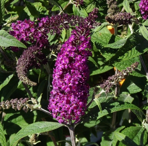 Butterfly Bush Buddleia Syn Buddleja Mike S Garden