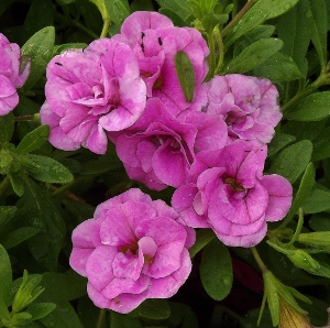 Calibrachoa Million Bells Mike S Garden Top 5 Plants