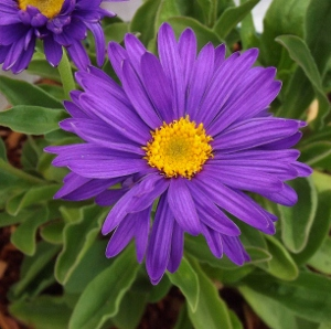 Mikes garden top 5 plants helping gardeners help themselves aster mightylinksfo