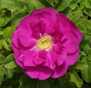 Rugosa Roses Ii Mike S Garden Top 5 Plants