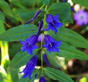 Blue Flowered Perennials Mikes Garden Top 5 Plants
