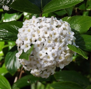 Fragrant shrubs mikes garden top 5 plants fragrant shrubs mightylinksfo