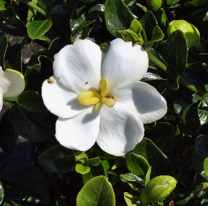 Fragrant shrubs mikes garden top 5 plants shrub with glossy deep green foliage and single highly fragrant white mightylinksfo