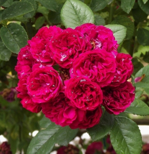 climbing rambler roses mike 39 s garden top 5 plants. Black Bedroom Furniture Sets. Home Design Ideas