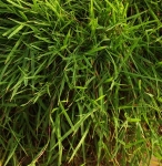 grasstrailingbamboo (292x300)