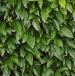 hedgerussian (295x300)
