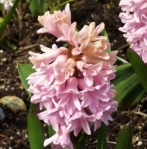 hyacinthpink (295x300)