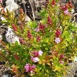 phylliopsiscoppelia (299x300)