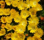 alpinedelospermabasalticum (300x273)