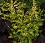 autumnplant2 (300x288) (2)