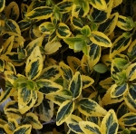 euonymusgold (300x296)