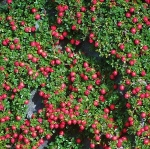 groundcotonthyme (300x298)