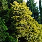 pinussylaurea (300x297)