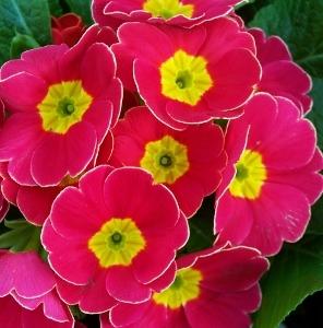 English primroses primula acaulis mikes garden top 5 plants primorionrosefrost mightylinksfo