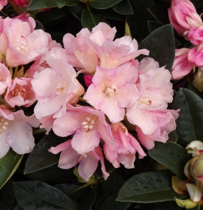 pink purple flowering rhododendrons mike 39 s garden top. Black Bedroom Furniture Sets. Home Design Ideas