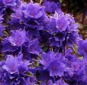 Rhododendron Blue Diamond