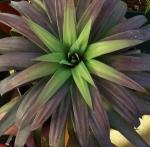 yuccaaloefoliapurpurea (300x295)