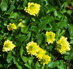 Yellow flowered perennials iii mikes garden top 5 plants yellowranunculus 300x283 mightylinksfo