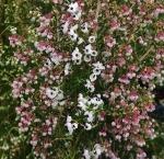 ericacanaliculata (300x290)