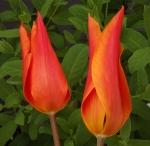 tulipballerina (300x293)